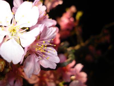 Japan car blossom