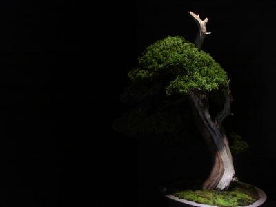Japan car bonsai